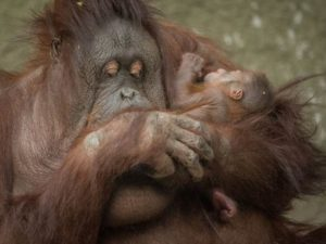 First Bornean orangutan born in almost a decade at Chester Zoo
