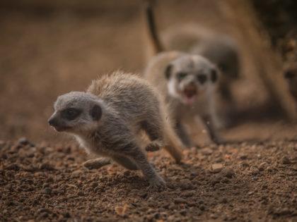 Four mischievous meerkat pups have been born at Chester Zoo