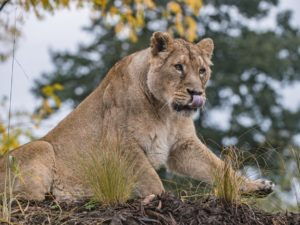 A pride of Asiatic lions – the world's rarest lion species – have taken their first steps into a specially-created new home at Chester Zoo.
